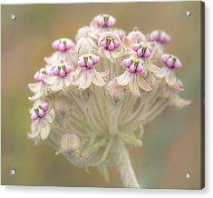 Acrylic Print featuring the photograph Indian Milkweed Flower Umbel by Alexander Kunz