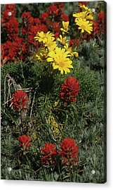 Indian Paintbrush And Sea Dahlia Blooming Acrylic Print