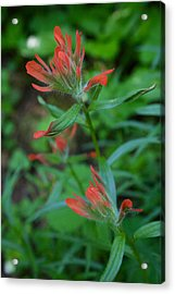 Indian Paintbrush Acrylic Print by Todd Kreuter
