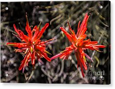 Indian Paintbrush Twins Acrylic Print by Dennis Wagner