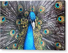 Indian Peacock Acrylic Print