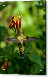 Indian Pink Acrylic Print by Bud Hensley