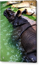 Indian Rhinoceros Acrylic Print by Thea Wolff