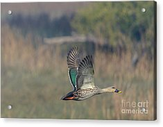 Indian Spot-billed Duck 03 Acrylic Print