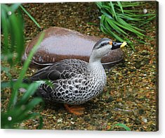 Indian Spot-billed Duck Acrylic Print
