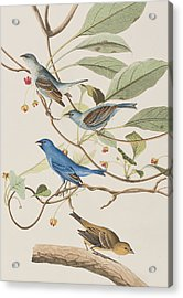 Indigo Bird Acrylic Print by John James Audubon