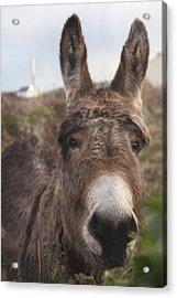 Inishmore Island Adorable Donkey Acrylic Print