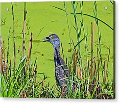 Inmature Black Crowned Heron. Acrylic Print