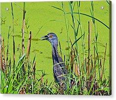 Inmature Black Crowned Heron. Acrylic Print