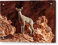 Inquisitive     Acrylic Print by James Marvin Phelps