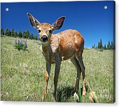 Inquisitive Blacktail Fawn Acrylic Print