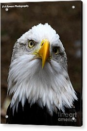 Inquisitive Eagle Acrylic Print