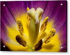 Inside A Purple Tulip Acrylic Print