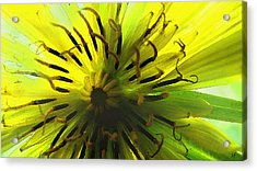 Acrylic Print featuring the digital art Inside A Yellow Goatsbeard  by Shelli Fitzpatrick