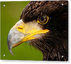 Intense Gaze Of A Golden Eagle Acrylic Print