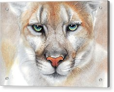 Intensity - Mountain Lion - Puma Acrylic Print