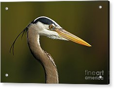 Intensity Of A Heron Acrylic Print