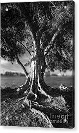 Intercoastal Pine Acrylic Print by Marvin Spates