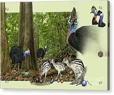 Zoo Nature Interpretation Panel Cassowaries Blue Quandong Acrylic Print