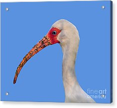 Acrylic Print featuring the photograph Intriguing Ibis .png by Al Powell Photography USA