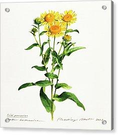Inula Acrylic Print