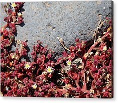 Invasion - Common Ice Plant Acrylic Print