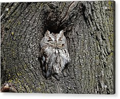 Invincible Screech Owl Acrylic Print