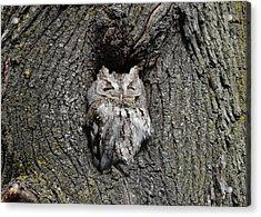 Invincible Screech Owl Acrylic Print by Stephen Flint