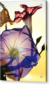Ipomoea With Rising Sun Behind Acrylic Print
