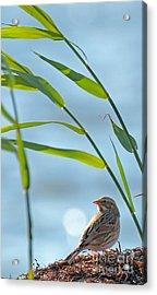 Ipswich Sparrow Acrylic Print