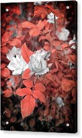Ir Rose  Acrylic Print by Paul Seymour