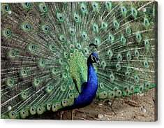 Iridescent Blue-green Peacock Acrylic Print