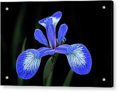 Iris #2 Acrylic Print