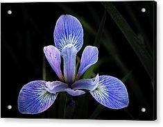 Iris #4 Acrylic Print