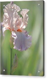 Iris Celebration Song 2. The Beauty Of Irises Acrylic Print by Jenny Rainbow
