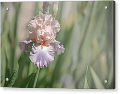 Iris Celebration Song 3. The Beauty Of Irises Acrylic Print by Jenny Rainbow