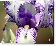 Acrylic Print featuring the photograph Iris Close-up by Sheila Brown