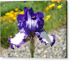 Iris Flower Purple White Irises Nature Landscape Giclee Art Prints Baslee Troutman Acrylic Print by Baslee Troutman