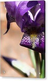 Iris Gemanica Acrylic Print
