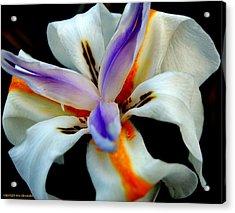 Iris IIi Acrylic Print