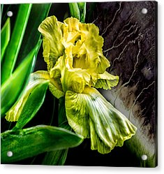 Iris In Bloom Two Acrylic Print