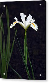 Iris In My Glory Acrylic Print by James Steele