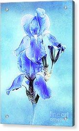 Iris Pair In Blue Acrylic Print