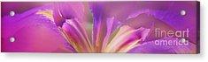 Iris Panorama Acrylic Print by Judi Bagwell
