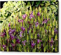 Iris Acrylic Print by Rosemary Aubut