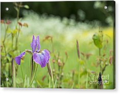Iris Sibirica Sparkling Rose Acrylic Print by Tim Gainey