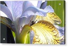 Iris Spider Acrylic Print by Karen Moulder