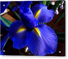 Acrylic Print featuring the photograph Iris Unfolding by Paul Cutright