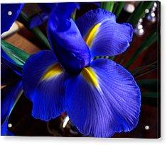 Iris Unfolding Acrylic Print by Paul Cutright