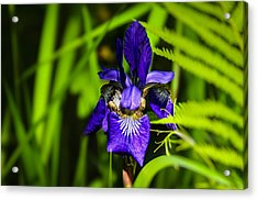 Acrylic Print featuring the photograph Iris Versicolor by Mark Myhaver